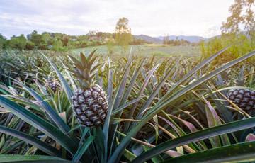 Bukidnon Community Cooperative Pineapple Plantation